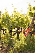 Vineyard and poppy flowers on summer day, Route des Vins de Balagne, Corsica, France