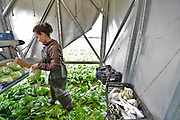 Nederland, the Netherlands, Horst, 31-7-2017Jonger arbeidskrachten uit Bulgarije, Polen en Letland oogsten een veld met ijsbergsla. In een grote mobiele schuur snijden zij de sla van de grond, stoppen hem in een plastic zak en als een tray vol is wordt die via een korte lopende band op pallets geladen en rechtstreeks in de aanhanger gezet die later door een vrachtwagen weggereden gaat worden. Efficient oogsten. Foto: Flip Franssen