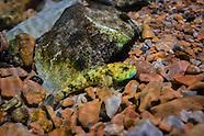Knobfin Sculpin, Underwater