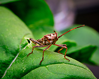 Western Conifer Seed Bug on an Arugula leaf. Image taken with a Fuji X-T3 camera and 80 mm f/2.8 macro lens (ISO 160, 80 mm, f/16, 1/30 sec).