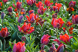 Tulipa 'Rococo' with Erysimum 'Fire King'