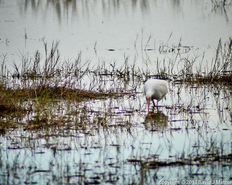 White Ibis. Black Point Drive, Merritt Island National Wildlife Refuge. Image taken with a Nikon 1V2 camera and 180 mm f/2.8 lens (ISO 160, 180 mm, f'2.8, 1/800 sec).