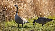 USA, Oregon, Baskett Slough National Wildlife Refuge, pair of Canada Geese (Branta canadensis)