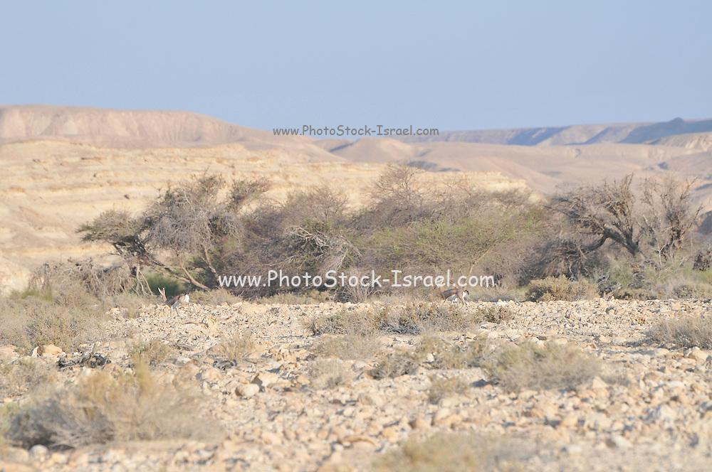 Dorcas Gazelle (Gazella dorcas), also known as the Ariel Gazelle Photographed in Israel, Aravah Desert in September Israel