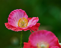 Pink Poppy. Image taken with a Nikon D850 camera and 200-500 mm f/5.6 VR lens