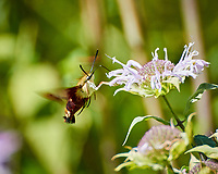 Clearwing Hummingbird Moth (Hemaris thysbe). Image taken with a Nikon N1V3 camera and 70-300 mm VR lens