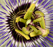 Close-up abstract of the centre of a Passion flower (Passiflora caerulea) growing in a Norfolk garden in summer