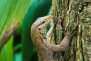 Clouded monitor lizard (Varanus nebulous), Singapore Zoo, Singapore, Republic of Singapore