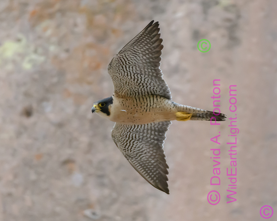 Adult Peregrine falcon in flight along cliff face, © 2017 David A. Ponton [Prints to 8x10, 16x20, 24x30, or 40x50 in. with no cropping]