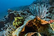 Comatulida - Comatule (Comatulida), Nusa Penida island, Bali, Indonesia.