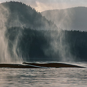 This photo was taken in my early days with Avalon and my Klepper kayak when the Seymour Canal was my regular haunt with the whales. As mammals, humpbacks must come to the surface to breathe.  Typically, humpbacks dive for 5-10 minutes although they can hold their breath for much longer if necessary. Unlike land mammals who store the majority of air in their lungs, whales store less than 25% in the lungs with almost half of the oxygen contained in hemoglobin molecules.  They also store oxygen in myoglobin molecules in the muscles.  When a whale dives, their metabolism and heart rate decrease so that they use oxygen stores more slowly.  At the same time blood is shunted away from the extremities.  These adaptations allow them to breathe much less frequently than land mammals. They also have a higher tolerance for carbon dioxide (CO2). Their brains do not trigger a breathing response until the levels of CO2 are much higher than what humans can tolerate.