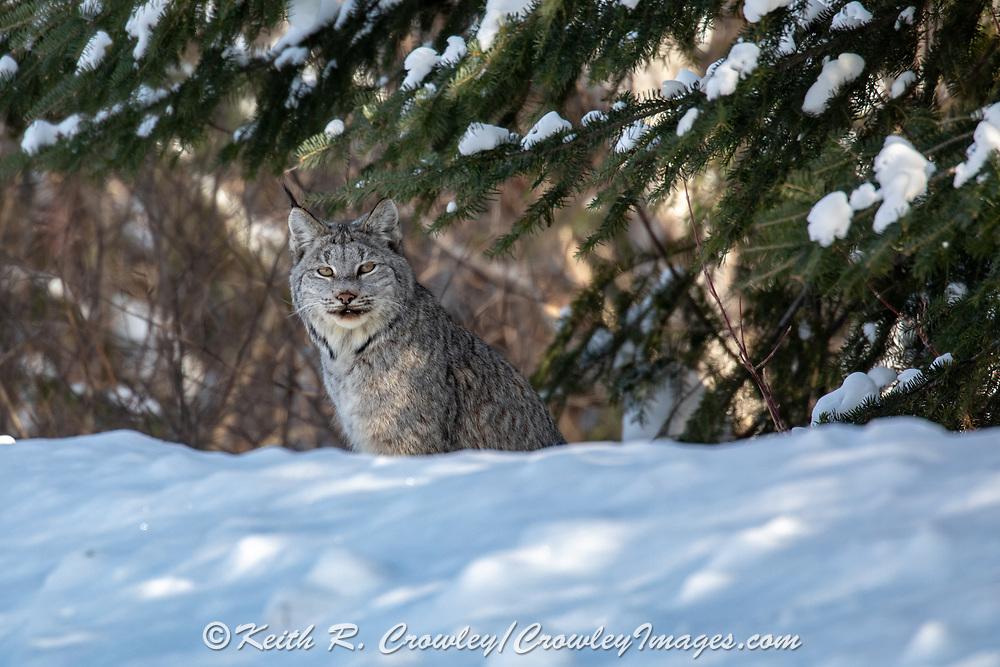 Canada lynx peering from beneath a spruce tree in winter.