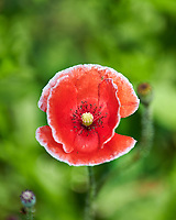 Red Poppy. Image taken with a Nikon D850 Camera and 70-300 mm VR lens