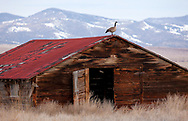When not in flight, Canada geese are usually either in the water or on the ground. This goose had other ideas and decided to do its best impression of a weather vane.