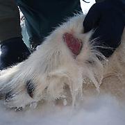 A large, fleshy wound on a male polar bear (Ursus maritimus) on the Beaufort Sea ice pack. Kaktovik, Alaska.