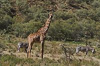 Kenya, region de Nakuru, parc national de Hell's Gate, zebre et girafe // Kenya, Nakuru county, Hell's Gate National Park, zebra and giraffe