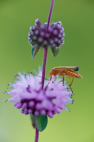 Pennyroyal (Mentha pulegium) closeup with a Soldier Beetle (Cantharis fusca) , Hortobagy National Park, Hungary