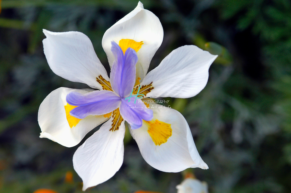 Subject: Fortnight Lily (Dietes bicolor).Natuve to CA.Location:  Santa Barbara, CA.Magnification:  1/3X.