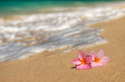 Two pink plumeria on a Hawaiian beach with sand and surf.
