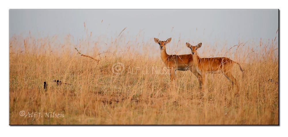 Kob antelopes from Murchison National Park, Uganda. Nikon D700, 200-400mm @ 360mm, f5, 1/320sec, ISO500, Manual modus
