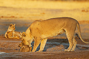A female lioness (Panthera leo) scolding one of her three cubs playing at a water hole, Savuti, Botswana