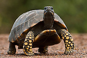 South American Yellow-footed Tortoise<br /> (Gecochelone denticulata)<br /> Iwokrama Reserve<br /> GUYANA<br /> South America