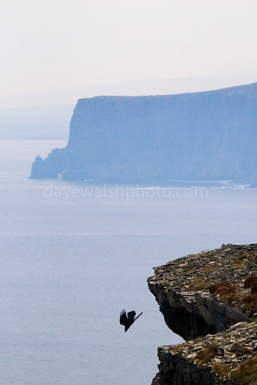Raven (corvus corax)diving from the Cliffs of Moher, near Hag's Head, Co. Clare, Ireland..