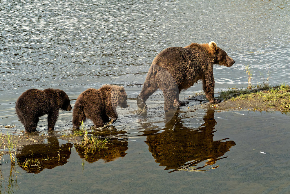 A Brown Bear sow and cubs walk inline along the lower Brooks River in Katmai National Park and Preserve September 16, 2019 near King Salmon, Alaska. The park spans the worlds largest salmon run with nearly 62 million salmon migrating through the streams which feeds some of the largest bears in the world.