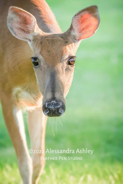 Close up portrait of doe with large brown eyes.