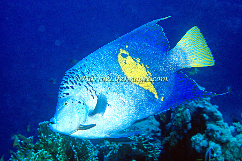 Yellowband Angelfish inhabit reefs. Picture taken Red Sea.
