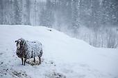 Villsau - Old Norwegian breed