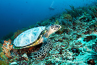 A Hawskbill Sea Turtle with abnormal condition on its carapace<br /> <br /> Shot in Indonesia