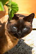 The head face of a chocolate brown cat with black nose and blue eyes Clos des Iles Le Brusc Six Fours Cote d'Azur Var France