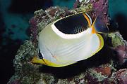 Saddled Butterflyfish, Chaetodon ephippium