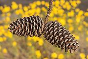 Pine Cones in Yellow Sea