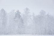 Snowstorm blows over edge of forest in Vidzeme, Latvia Ⓒ Davis Ulands | davisulands.com