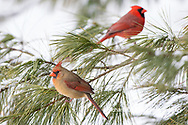 01530-23012 Northern Cardinal (Cardinalis cardinalis) female and male in pine tree in winter snow Marion Co. IL