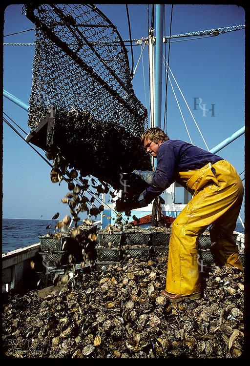 Net of flat oysters dumped aboard Le Loch- part of desperate plan to restart Morbihan 'hatcheries' France