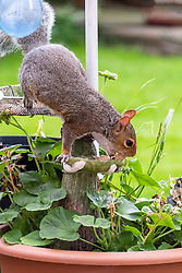 A Grey Squirrel (Scientific name Sciurus Carolinensison) forages for food during a brief visit to a small Sheffield suburban garden.<br /> <br /> 25th September 2021<br /> <br /> www.pauldaviddrabble.co.uk<br /> All Images Copyright Paul David Drabble -<br /> All rights Reserved -<br /> Moral Rights Asserted -