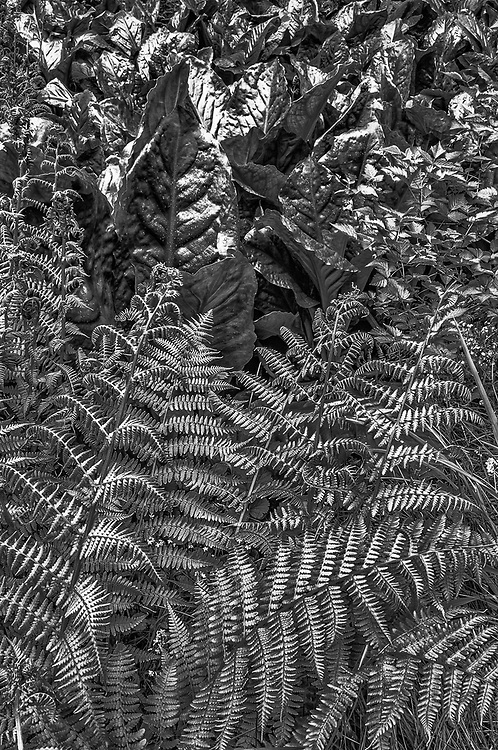 Bracken fern, skunk cabbage leaves and salmonberry, overcast light, May, forest understory, Olympic National Park, Washington, USA