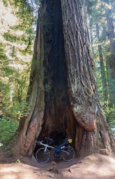 Recumbent in a redwood tree, Redwood Highway, California