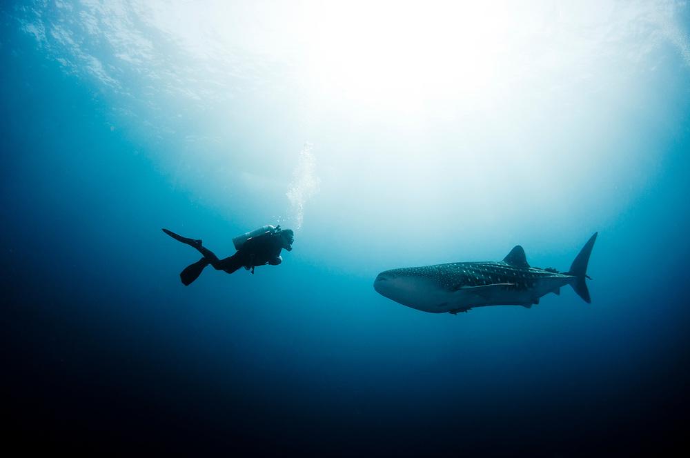 A SCUBA Diver meets a whale shark (Rhincodon typus) in Mexico.