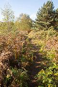 Footpath through Suffolk Sandlings heathland vegetation, Sutton, Suffolk, England, UK