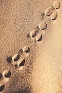 Track of a sand rat (psammomys obesus) in the Sahara desert of Morocco.