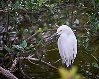 Snowy Egret in a tree. Biolab Road, Merritt Island National Wildlife Refuge. Image taken with a Nikon Df camera and 300 mm f/4  lens (ISO 6400, 300 mm, f/4, 1/1250 sec).