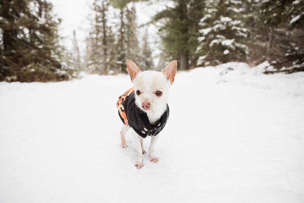 Teacup Chihuahua on the Bloomingdale Bog Trail in the Adirondack Park of New York