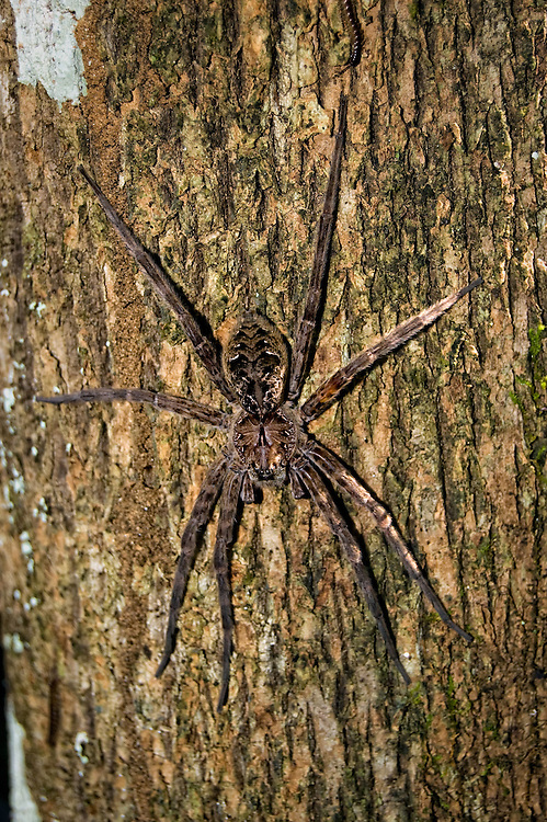 Huge fishing spider carefully photographed in the Fakahatchee Strand. These guys can get aggressive and do bite hard!