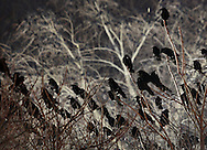 Middletown, New York  -  Crows (Corvus brachyrhynchos) gather in the trees near a lighted parking lot in downtown Middletown on the night of Jan. 28, 2012. Crows often roost in lighted areas for protection from owls.