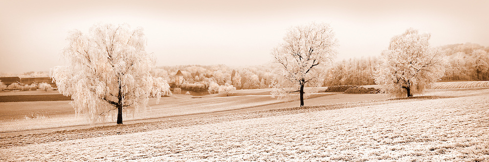Three oaks in winter, near Villarzel, Vaud , Switzerland