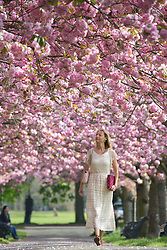 © Licensed to London News Pictures. 06/05/2016. Famous avenue of cherry blossom in Greewich Park on a sunny spring day in Greenwich, south east London. Credit: Rob Powell/LNP